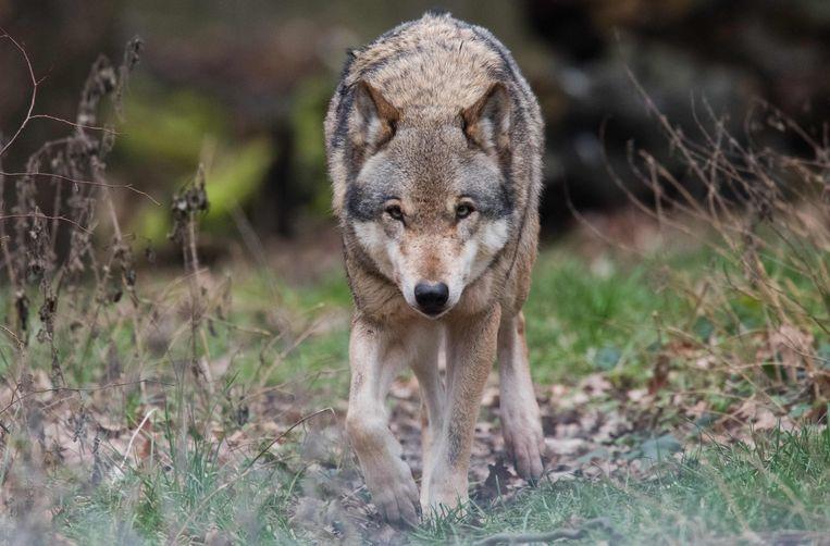 De wolf sloeg eind december tot drie keer toe in Zoersel.