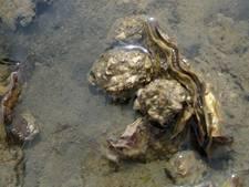 Andere aanpak Japanse oester in Veerse Meer