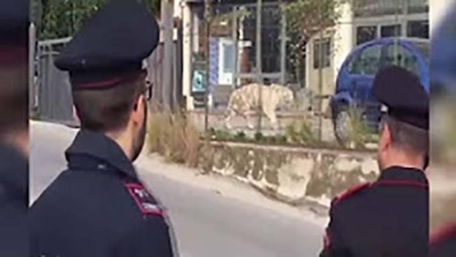 Bengaalse tijger wandelt door straten Siciliaanse stad