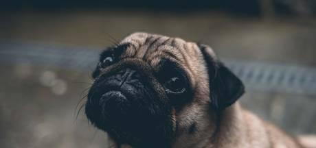 Honden kunnen niet slapen omdat ze net zoals wij piekeren