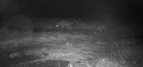 La cohabitation avec le loup est possible, assure le WWF