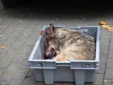Les louveteaux percutés en bord de route au Limbourg étaient en bonne santé