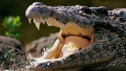 Twee krokodillen bewaken drugsgeld van bende in huis in Amsterdam