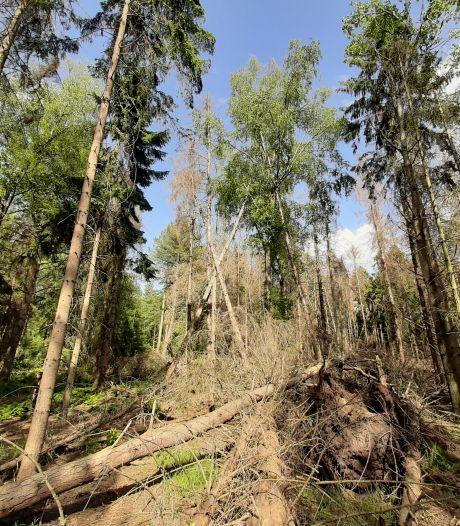 Sparren in Brabantse bossen vallen massaal om door de droogte