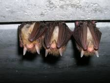 Vleermuizen in voormalige Gilde College Hengelo: sloop uitgesteld