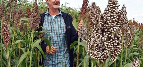 Oostburgse akkerbouwer introduceert nieuw graansoort: sorghum
