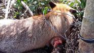 Opnieuw vosje aangetroffen in strop met prikkeldraad: dier moet worden ingeslapen