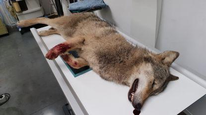 Autopsie op dode wolf, daarna wordt hij opgezet
