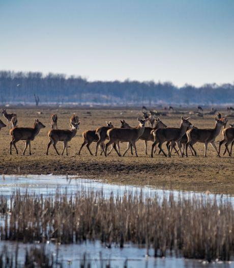 Doeg edelherten, hallo vogels: zo gaat Staatsbosbeheer de Oostvaardersplassen beheren