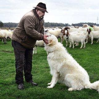 de-wolf-is-terug-en-deze-honden-moeten-de-schapen-daartegen-beschermen