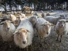 Plannen voor publieke schaapsboerderij bij Gijzenrooi