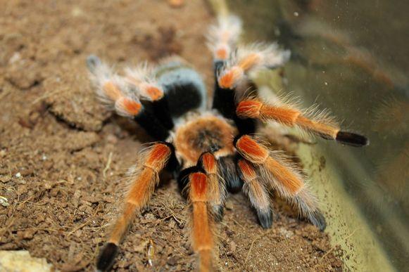 Deze spin, een Mexicaanse roodknievogelspin, werd intussen teruggevonden.