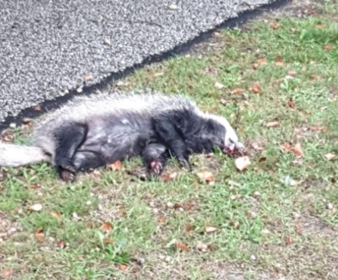 Bij de rondweg zijn drie dassen doodgereden.