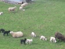 Lammetjes rennen vrolijk heen en weer in Haastrecht
