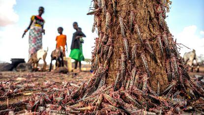Nieuwe sprinkhanenplaag bedreigt Oost-Afrika, coronacrisis belet bestrijding