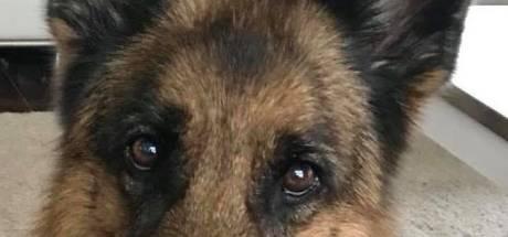 Hond Üllie uit Tiel overlijdt door schrik van vuurwerk, 'ze werd er letterlijk gestoord van'