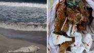 Babydolfijn aangespoeld in VS met plastic zakjes en ballon in zijn maag