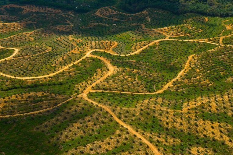 Borneo: een palmolieplantage in plaats van een natuurlijk leefgebied voor de dieren. Beeld null