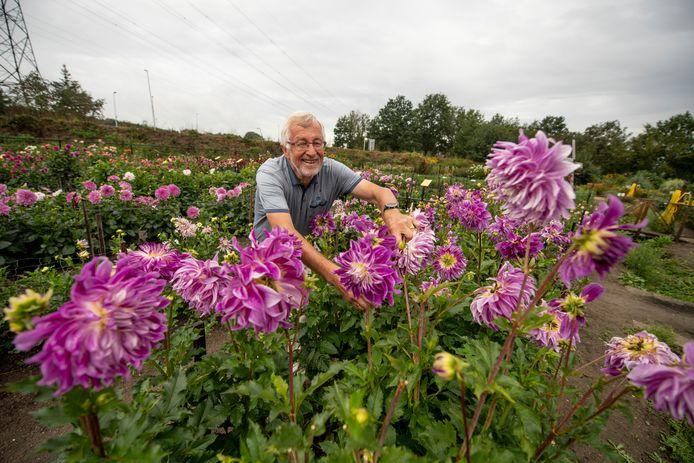 Henk de Vries duwde dit seizoen 600 dahliaknollen in de grond. Hier verzorgt hij de Bristol Striped.