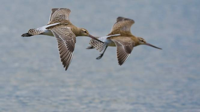 Trekvogel breekt record met langste non-stopvlucht: van Alaska naar Nieuw-Zeeland