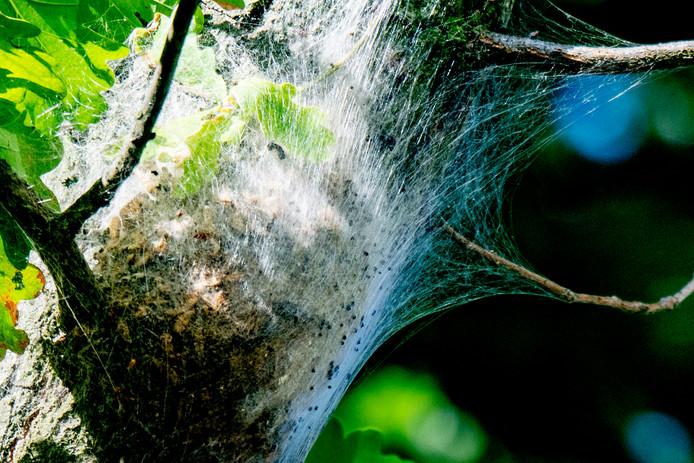 Een nest met eikenprocessierupsen.