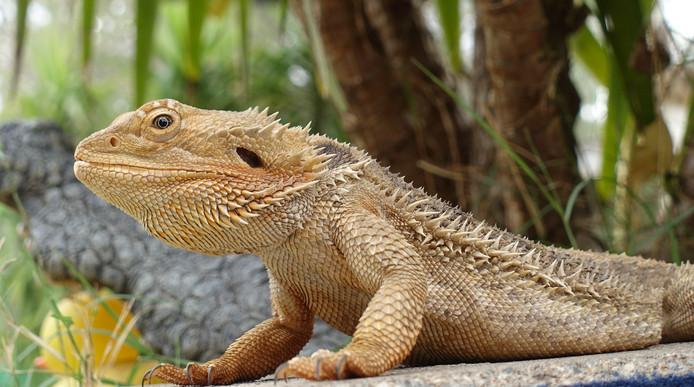 In het wild en als huisdier: de baardagaam.