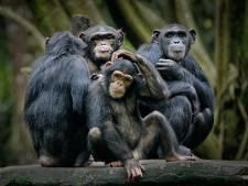 Dierenorganisatie vindt viraal filmpje van chimpansee met smartphone verre van schattig