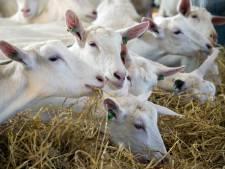 Geen verbod geitenhouderijen in Hof van Twente