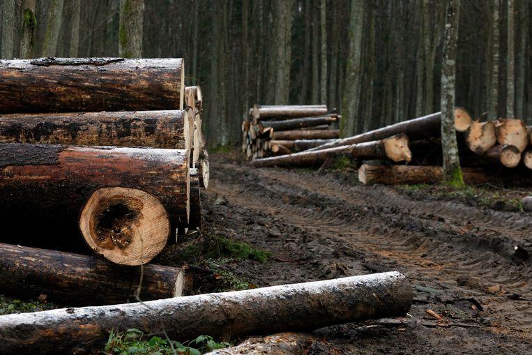 Kap in het oerbos Puszcza Bialowieza.   EPA/ARTUR RESZKO POLAND OUT Beeld EPA