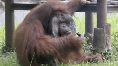 VIDEO: Orang-oetang rookt sigaret van bezoeker in dierentuin op