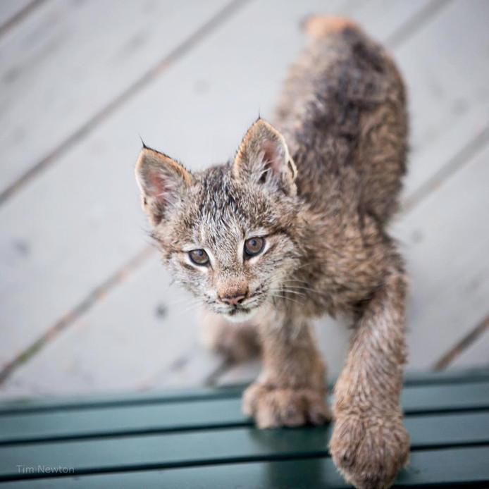 Lynxkittens zijn handenvol werk.
