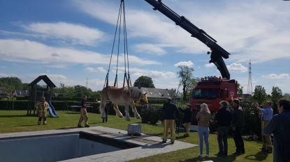 Brandweer redt met kraan paard uit zwembad in Bocholt