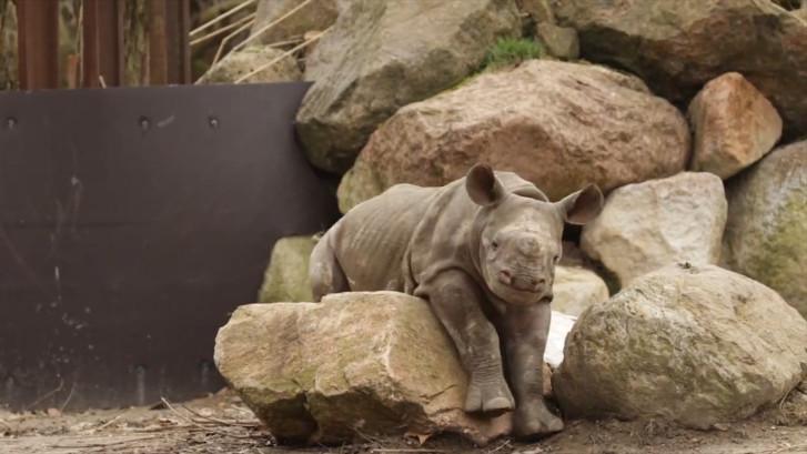 Neushoornbaby Mara ontdekt buitenverblijf