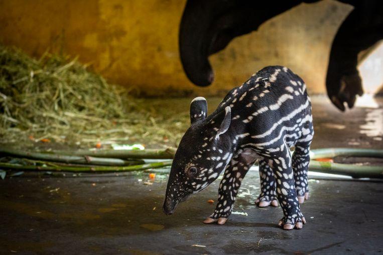 De nieuwste telg van de Antwerpse Zoo.