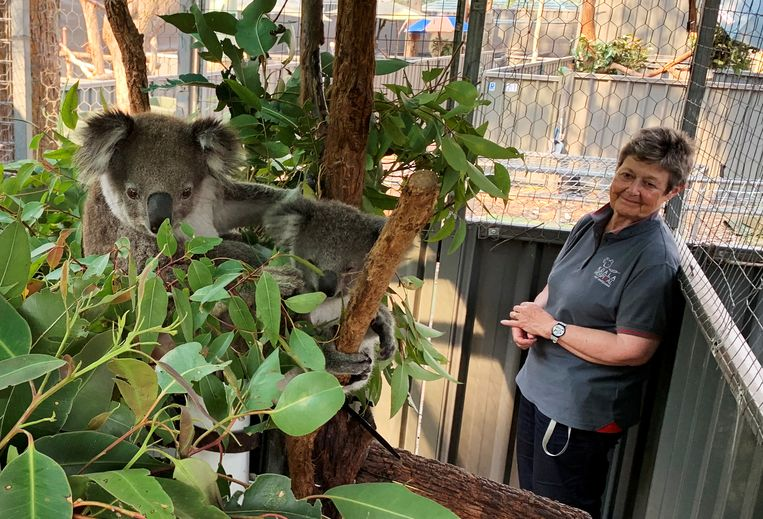 Koalabeschermster Sue Ashton kijkt naar de geredde koala's Julie en Joey in Port Macquarie.