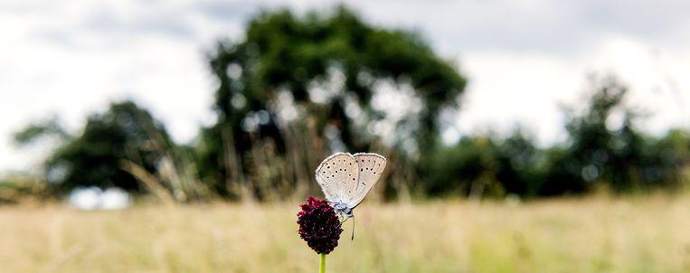 Het pimpernelblauwtje is één van de zeldzamere 'specialisten' die zeer gebonden is aan zijn omgeving, de Moerputten in Noord-Brabant. Beeld anp