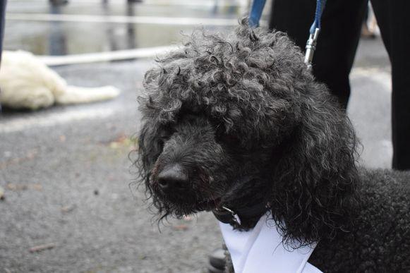 Tuur Haelman, de bekendste hond van Zelzate en omstreken