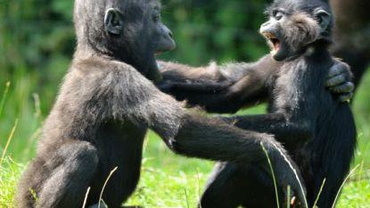 VIDEO. Pasgeboren bedreigde kuifmangabey maakt kennis met gorilla in Nederlandse zoo