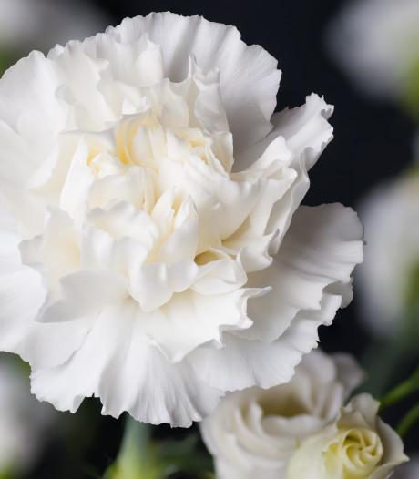 Witte Anjer perkje voor Leeuwarden om veteranen te eren