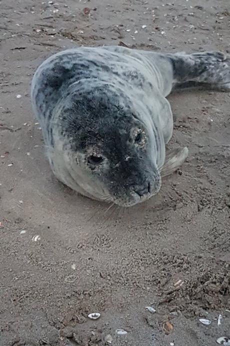 Piepjonge zeehond achtergelaten door moeder op Heijdse strand
