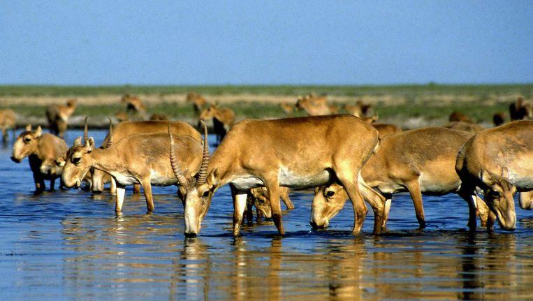 Zeldzame saiga-antilopen Beeld null
