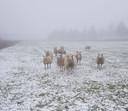 De schapen geteld zondagmiddag bij Het Wildt (Maren-Kessel)