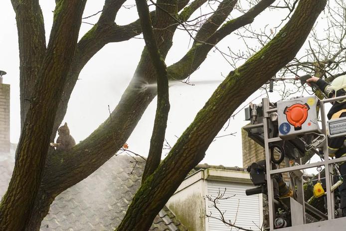De brandweer spoot water op het dier waarna het uit de boom bij de Allerheiligenweg in Breda kwam.