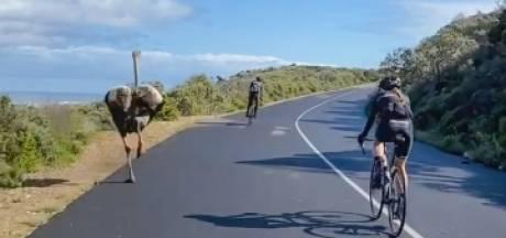 Une autruche fait la course avec des cyclistes