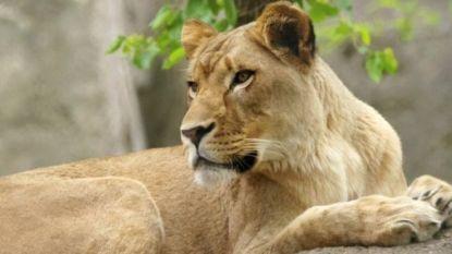 Leeuwin verstikt vader van haar welpjes in Amerikaanse zoo, personeel kan leeuw niet redden
