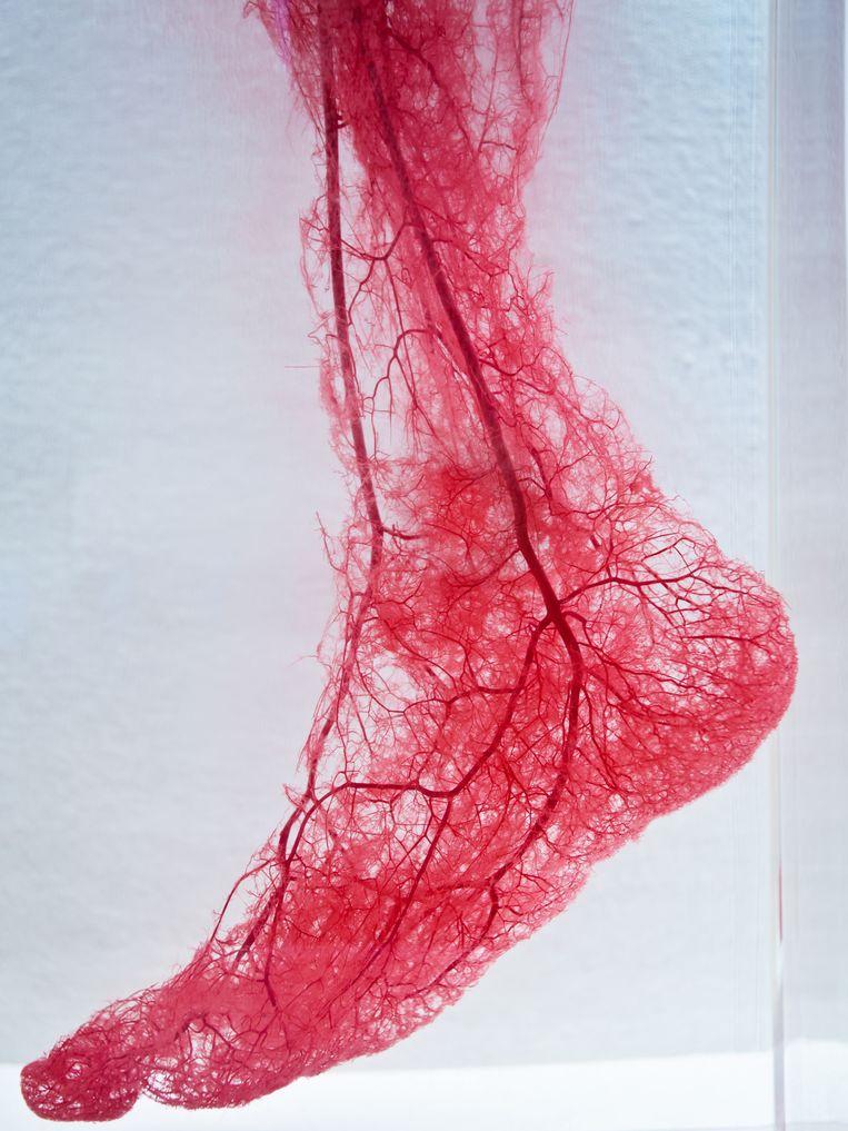 Bloedvaten in de voet. Beeld Getty Images/iStockphoto