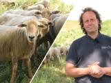 De wolf in Brabant: wat betekent dat voor schaapherders?