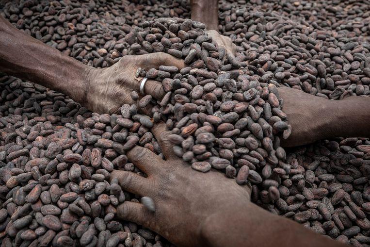 Cacaoboeren in Ghana testen de cacaobonen. Beeld Foto: Sven Torfinn.