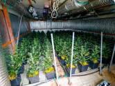Grote hennepkwekerij in een kwekerij in Beek en Donk: toch niet de ideale dekmantel