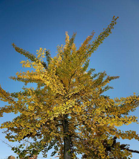 Naar poep stinkende bomen in Valkenswaard gaan toch weg